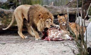 Grote etende kat.